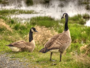 Nisqually National Wildlife Refuge Guests