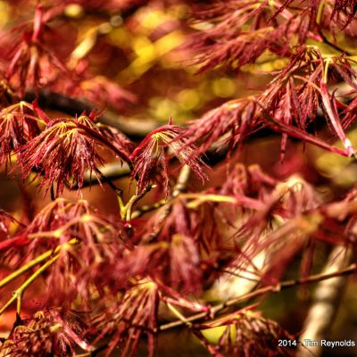 Japanese Maple detail.  Portland Japanese Garden, Portland, OR