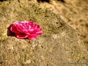 Flower on Rock. Portland Japanese Garden, Portland, OR
