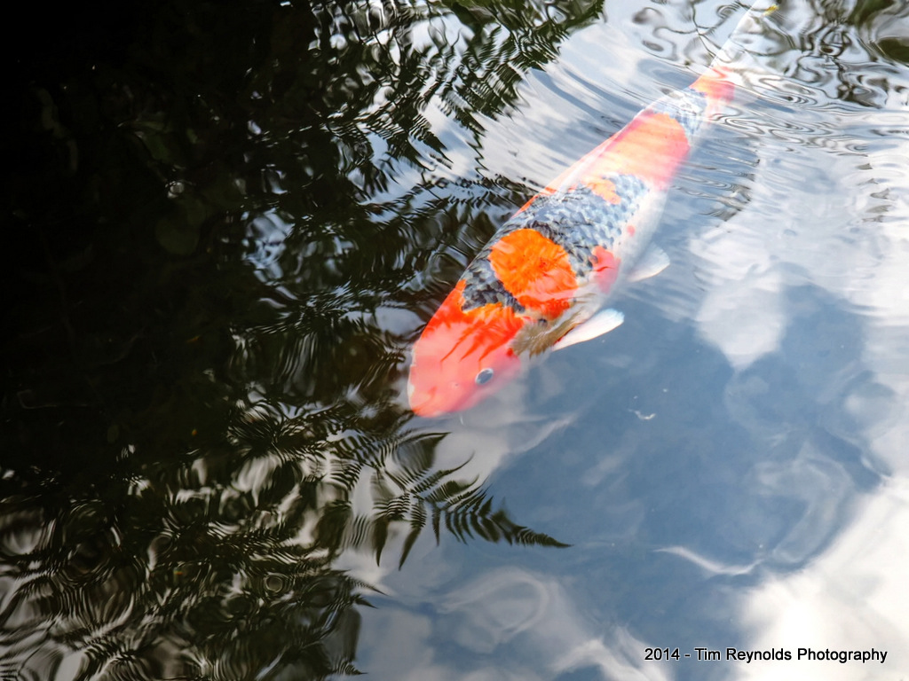 Koi among fern reflections - Portland Japanese Gardens