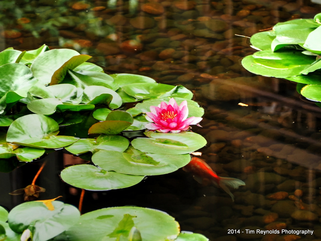 Lotus Blossom and Koi - Lan Su Chinese Gardens