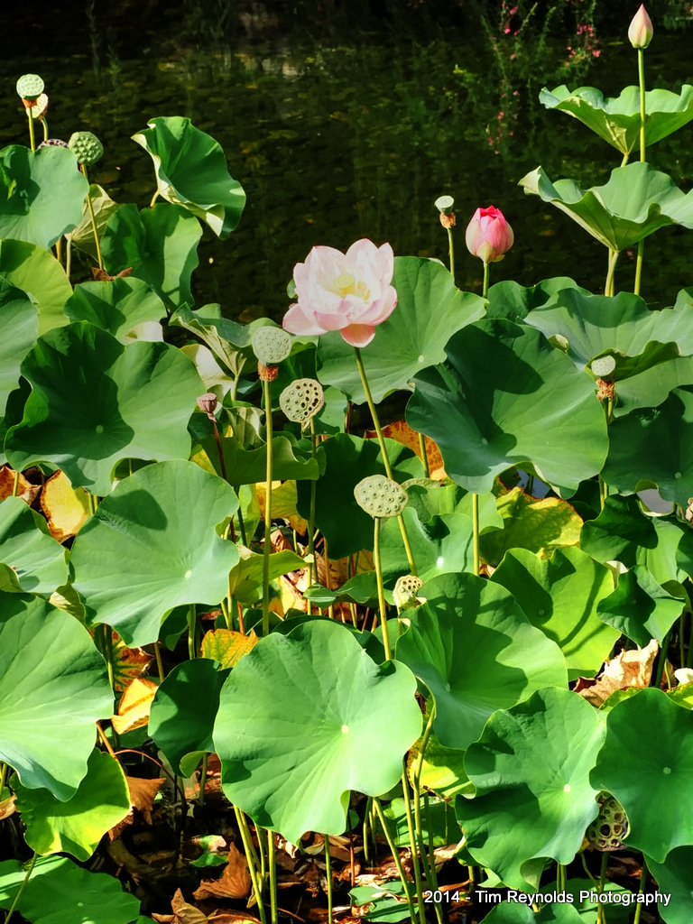 Lotus flowers stages of life - Lan Su Chinese Gardens