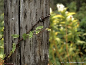 Post, Barbed Wire and Vine
