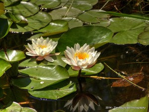 Lotus with reflection 2